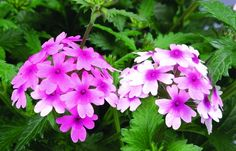 Strange's Florist - Richmond, VA- Your local same day delivery florist! Greenhouse Gardening, Richmond Virginia, Verbena, Lanai, Summer Colors, Floral Arrangements, Bright, Gardens, Eye