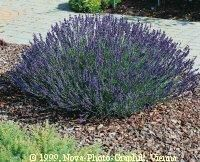 LAVENDER Prized for its fragrance, medicinal properties and beautiful color, lavender has been one of the most popular herbs for centuries. Lavender's versatility has made it a valued plant for households across the world. Its fragrance, leaf color contrast, and water-wise properties make it a great choice for Colorado gardeners. Lavender originated in the Mediterranean region of Europe.