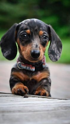 Dapple Dachshund Weiner Dog Doxie Puppy *My Dream is to have one like this one day! Dapple Dachshund Puppy, Dachshund Funny, Doxie Puppies, Weenie Dogs, Cute Dogs And Puppies, Doggies, Dachshund Clothes, Dachshund Gifts, Baby Weiner Dogs