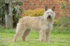 Bouvier des Ardennes Dog