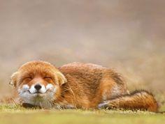Red Fox by Roeselien Raimond - thrumyeye                                                                                                                                                                                 More