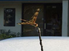 Dragonfly outside Royal Maids of Naples Office