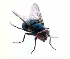 """La mosca, ha un sistema di catapulta per alzarsi in volo ed u funzionamento delle ali, così complesso da richiedere la presenza di tutti i suoi componenti per funzionare, si sono """"evoluti"""" tutti insieme e subito?"""