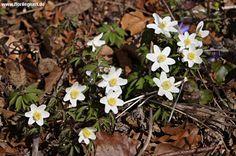 #Buschwindröschen, #Anemone nemorosa http://www.florilegium.de/blog/pflanzen/heimische-wildpflanzen-und-wildkraeuter/das-buschwindroeschen-anemone-nemorosa.html