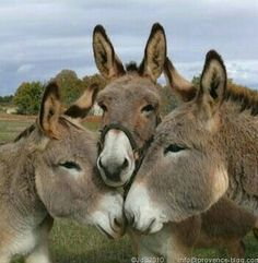 It's the donkey huddle. What moves are coming next? Farm Animals, Animals And Pets, Funny Animals, Cute Animals, Wild Animals, Beautiful Horses, Animals Beautiful, Cute Donkey, Mini Donkey