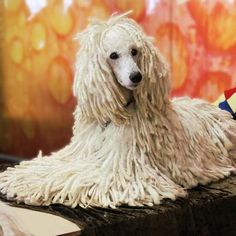 Standard Poodle - corded Tim Flach photography