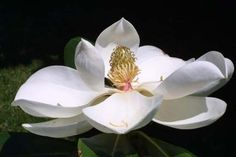 Pretty magnolia flower- does not require two plants for pollination