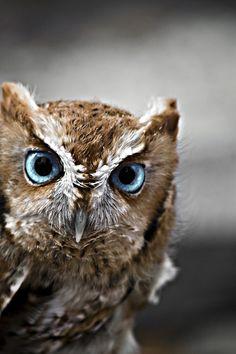 golden-quill: The Little Screech Owl - source