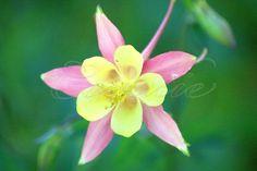 Columbine Flowers Blooming in the High Desert