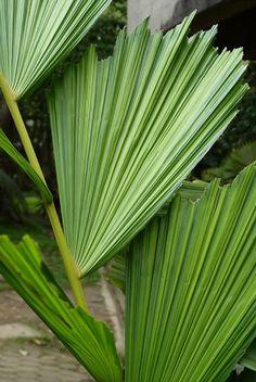 Iriartea deltoidea Ruiz & Pav.- Medellín - Colombia
