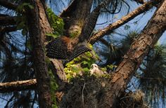 The are magnificent. Love a Red Shouldered Hawk.