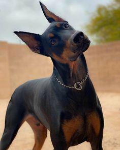 Perro Doberman Pinscher, Doberman Dogs, Dobermans, Cute Dogs And Puppies, Big Dogs, Corgi Puppies, Doggies, Cute Little Animals, Cute Funny Animals