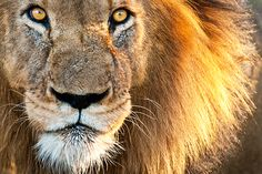 Woman pets caged lion and loses finger; woman to sue zoo for not stopping her Chutes Victoria, Lion Facts, World Lion Day, Westerns, Lion Pictures, Male Lion, Stop Animal Cruelty, African Safari, Animal Welfare