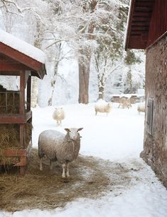 Sheep in winter snow...