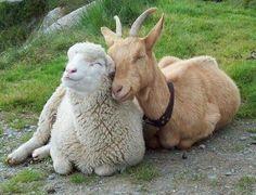 Cabras e ovelhas são furtadas de propriedade particular