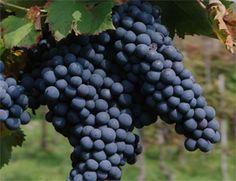 Il vino Sangue di Giuda: traditore solo nel nome