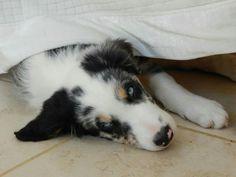 #bordercollie #bluemerletricolourbordercollie #bluemerle #blueeyes #dog #puppy #puppies #pup #dog #puppylove