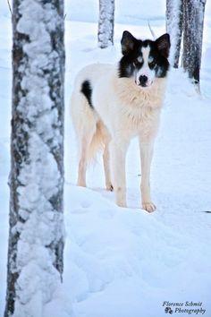 Dierenfotografie: husky hond