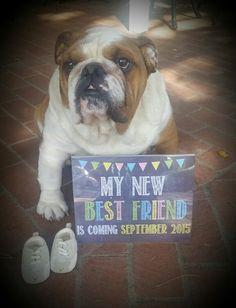 Bulldog pregnancy announcement