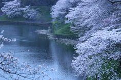 299:「薄暮の桜」@千鳥ヶ淵