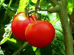 10 Tomatoes to Grow in Your Container Garden  @Corner Bakery Cafe