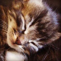 #newborn #sleepy #babycat #babytiger #cuteness #adorable Kittens, Cats, Photo And Video, Animals, Instagram, Cute Kittens, Gatos, Animales, Animaux