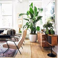 星河丨觀葉植物天堂鳥開花鶴望蘭旅人蕉單子葉植物好養耐陰綠植