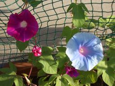 Clematis, Vines, Plants, Photography, Morning Glories, Flowers, Photograph, Photo Shoot, Plant
