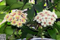 Different colors on the same plant. Hoya soidaoensis from Susanne