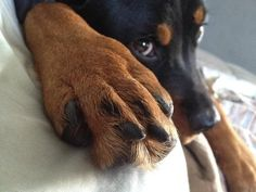 My, my....what BIG feet you have! #Rotty