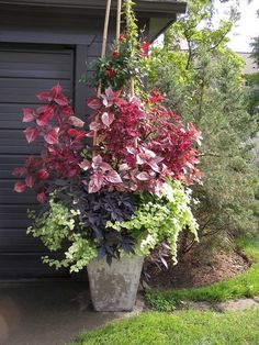 coleus, purple sweet potato vine,Licorice Plant Helichrysum, Mandevilla growing up bamboo stakes
