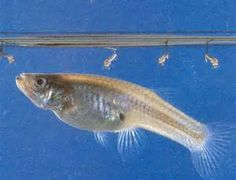 1000 Images About Mosquito Fish Available From Florida