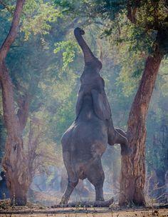 Un elefante hambriento intenta alcanzar las hojas de un arbol en el Mana Pools Park, norte de Zimbabwe (Giovanni Casini, 2014)