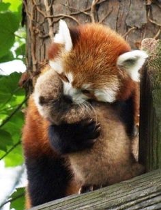 Red Panda and baby