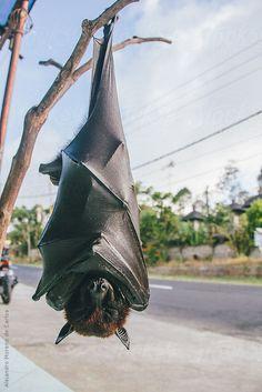 Fruit bat or flying fox (Pteropus vampyrus) hanging of a branch by Alejandro Moreno de Carlos