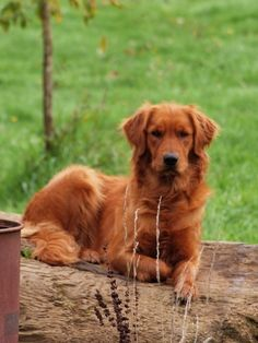 A Red Golden Retriever. I want a female and I will name her Willow.
