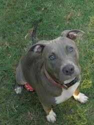 Tessa is an adoptable Pit Bull Terrier Dog in Auburn, AL. People who meet Tessa love her, because she is so sweet & pretty. She is a regular at Auburn's Kiesel Park. She walks nicely on a leash & enjo...
