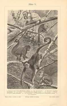 1902 Primates Brown Woolly Monkey Silky by CabinetOfTreasures