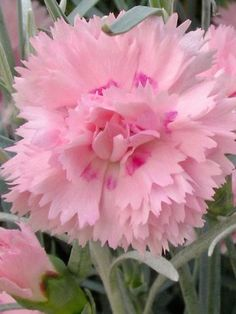 Add that classic touch of pink to your yard with Dianthus perennials from Bluestone Perennials. Shop our wide selection of Dianthus flowers today. Dianthus Flowers, Pink Dianthus, Flowers Perennials, Planting Flowers, Pink Flowers, Beautiful Flowers, Pink Carnations, Small Flowering Plants, Full Sun Perennials