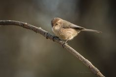 Sandy Stewart posted a photo:  Bushtits are tiny 4 1/2 inch ( 11.43 Centimeters) long of which most of their length is taken up by their long tales. They are a small acrobatic puffballs who can be seen traveling in flocks continuously making soft chips and twitters as they forage for insects or spiders. The females have light eyes where the males sport dark eyes.  Most of the time when I do see them, by the time I run for my camera they have moved on elsewhere! lol Such busy little birds…