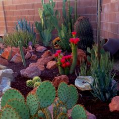 Love the dark rocks that contrast with all the pretty cactus