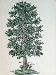 Vintage Antique Botanical Tree Print Forrest Linden Wood Leaves Branches 15