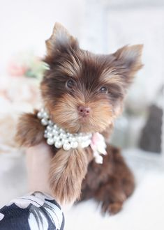 choco-yorkie-tba-1 Morkie Puppies For Sale, Teacup Yorkie For Sale, Teacup Puppies For Sale, Toy Puppies, Teacup Morkie, Toy Yorkie, Biewer Yorkie, Miki Dog, Wire Fox Terrier Puppies