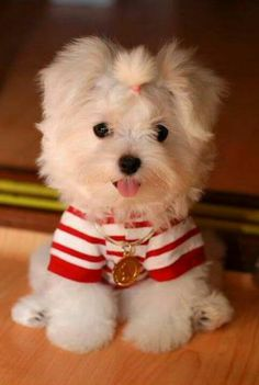 this Maltese wants to know. Now THIS makes me want my own little fur baby. Haley would just freak.this Maltese wants to know. Now THIS makes me want my own little fur baby. Haley would just freak. Love My Dog, Cute Puppies, Cute Dogs, Dogs And Puppies, Animals And Pets, Baby Animals, Cute Animals, Small Dog Breeds, Small Dogs