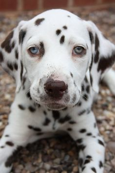 Dalmatian pup with blue eyes