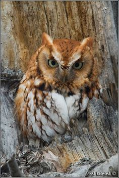 I don't know what it is about Owls, but they always look so very angry and frustrated. It's adorable.