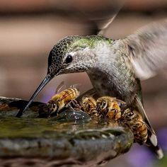 Hummingbird Drinks with Honey bees