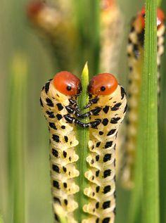 Caterpillars on pine needle--future sawflies