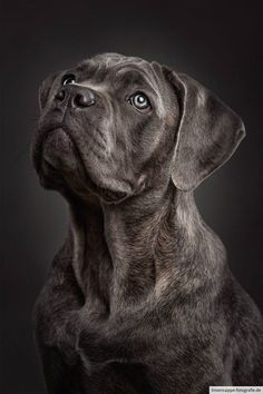Photograph Stunning portrait of an rare Cane Corso puppy by linsensuppe -  fotografie on 500px