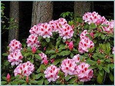 Rhododendron  'Mrs. Furnival'.
